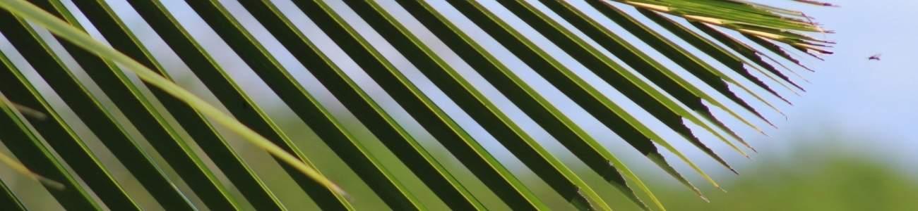 Samoa palm